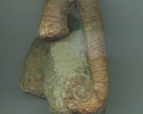 Ammonite Ancyloceras