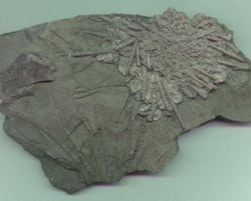 Archaeocydaris