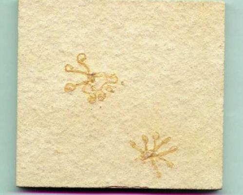 Crinoidi Saccocoma
