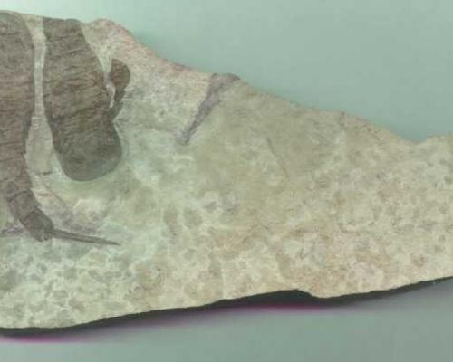 Eurypterus