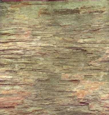 Felce Arborea Tiatea