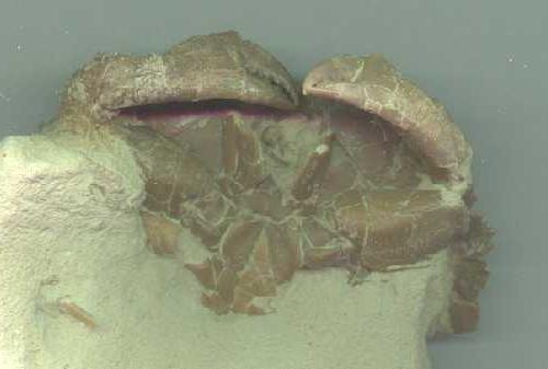 Granchio del Miocene