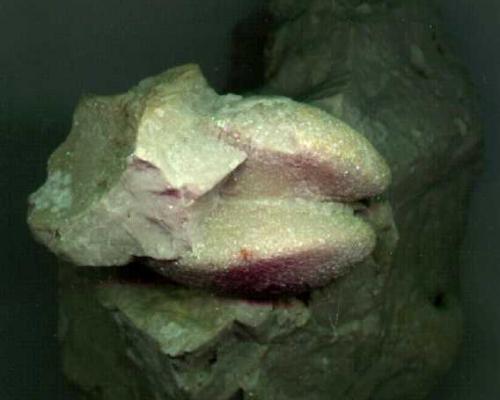 Lamellibranchi Megalodon