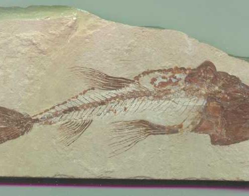 Pesce fossile Eurypholis Boissieri