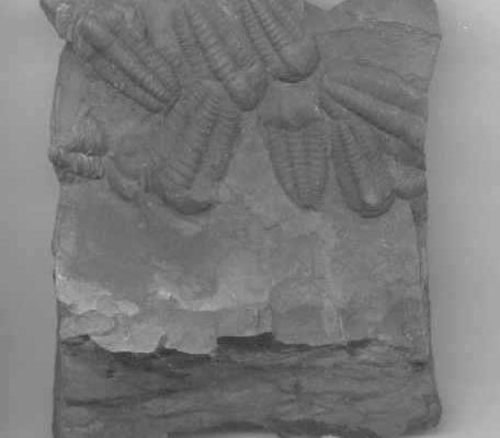Trilobite Ellipsocephalus Hoffi