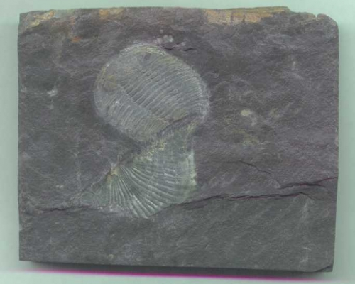 Trilobite Retamaspis