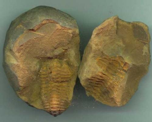 Trilobite Phacopida Calymene